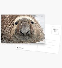 The Beach Master ~ Southern Bull Elephant Seal Postcards