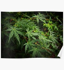 Japanese Maple Leaves in Spring Poster