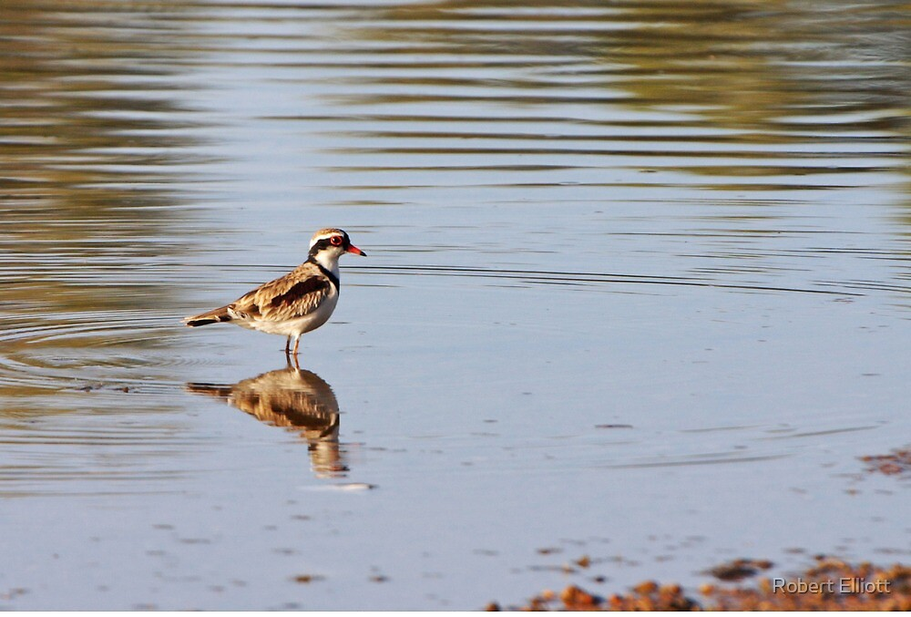 Black-fronted Dotterel by Robert Elliott