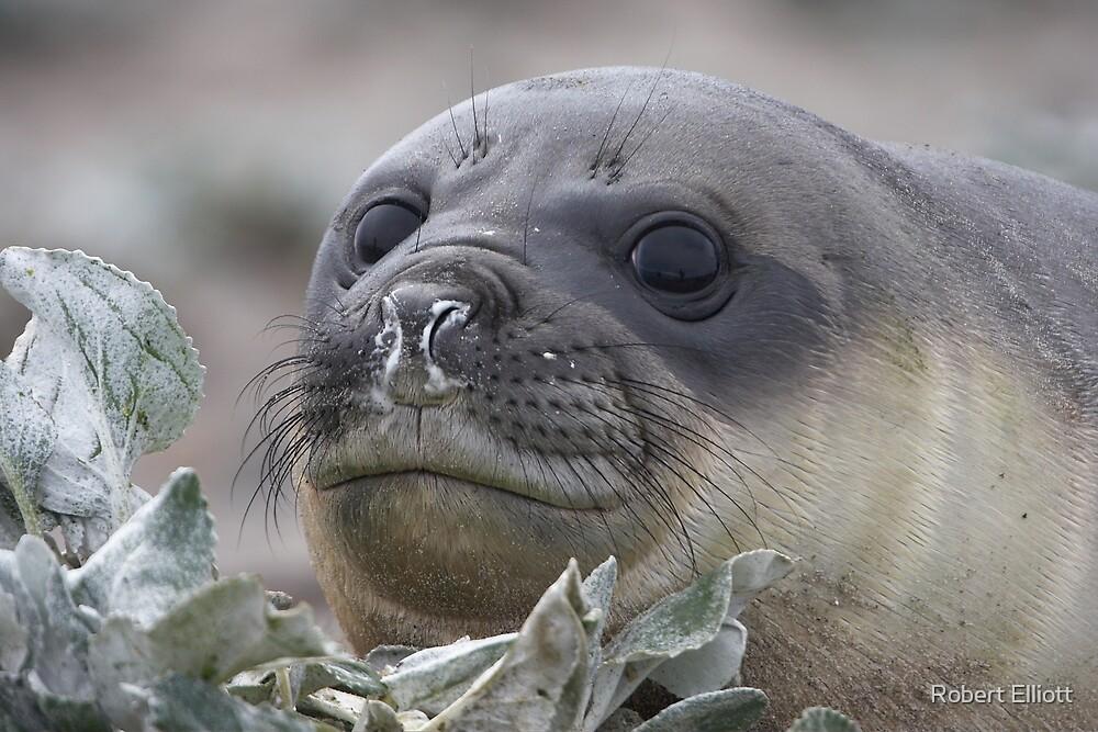 Angel Eyes  ~  Female Southern Elephant Seal by Robert Elliott