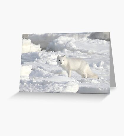 White on White. Arctic Fox #1, on the Tundra, Hudson Bay, Canada Greeting Card