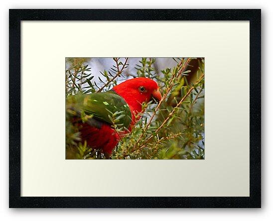 King Parrot by Robert Elliott