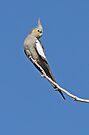 Cockatiel ~ Freedom  by Robert Elliott