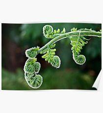 Unfurling fern Poster