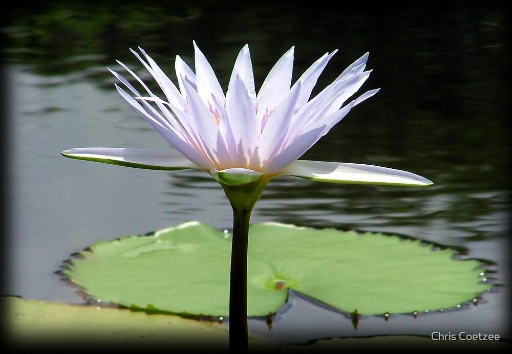Water Lily. by Chris Coetzee