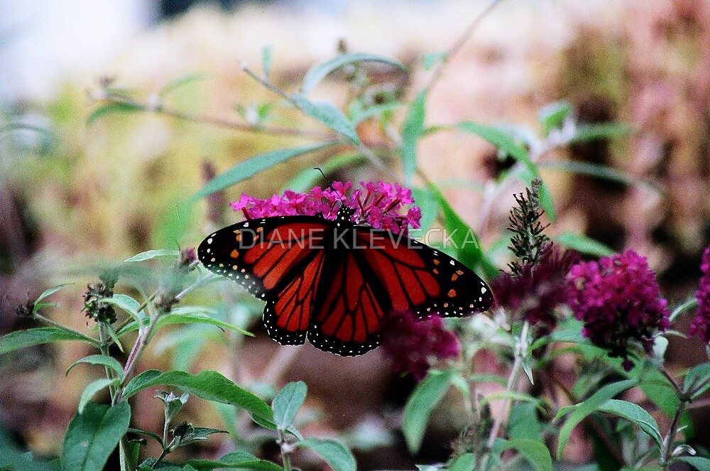 Magestic Monarch Beauty by DIANE KLEVECKA