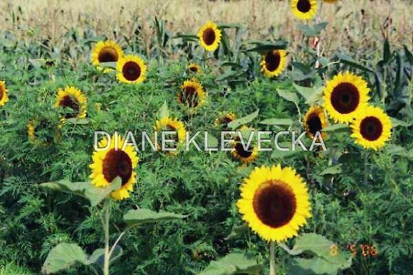 SunFlower  Field by DIANE KLEVECKA