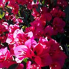 Brilliant pink bougainvillea by Victoria McGuire