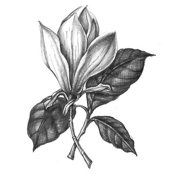 """No. 1 """" The Magnolia"""" Botanical Ballpoint Pen Drawing by sckuithe"""