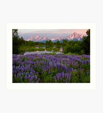 Field of Lupine and the Tetons Art Print