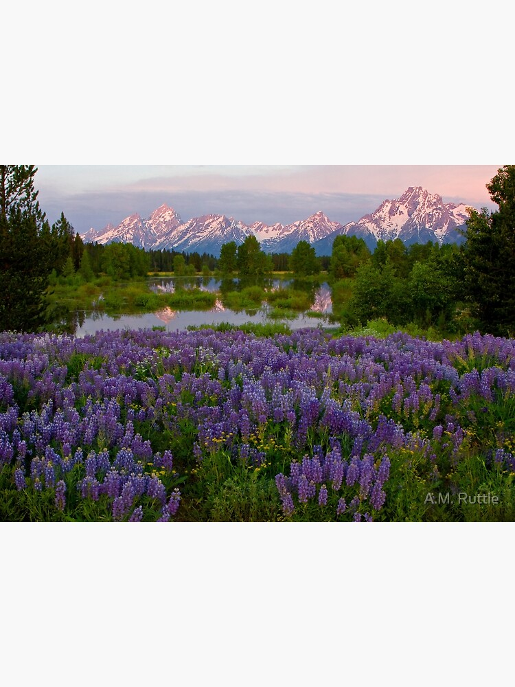 Field of Lupine and the Tetons by annruttle