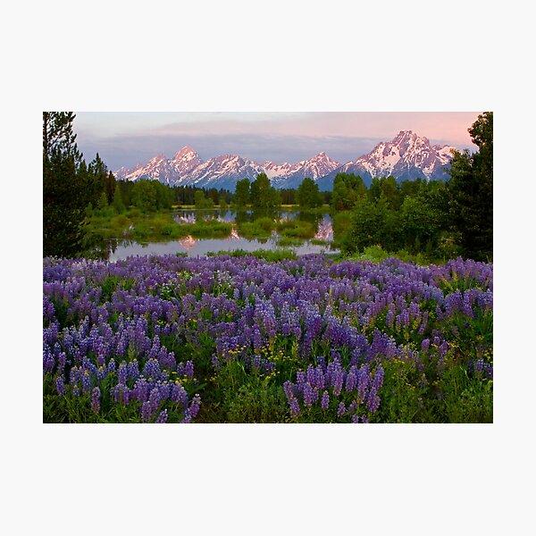 Field of Lupine and the Tetons Photographic Print