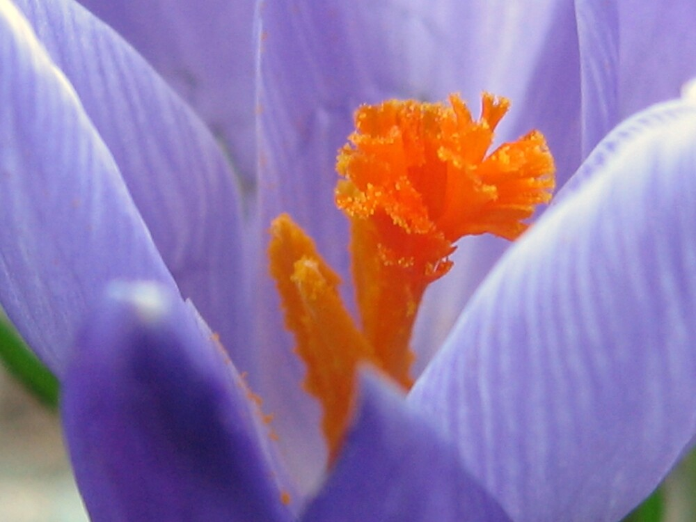 Purple Crocus by Sara Wiggins