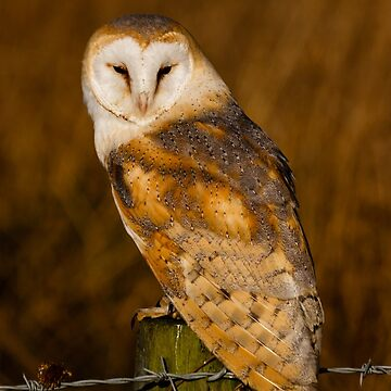 Barn Owl face by Dalyn