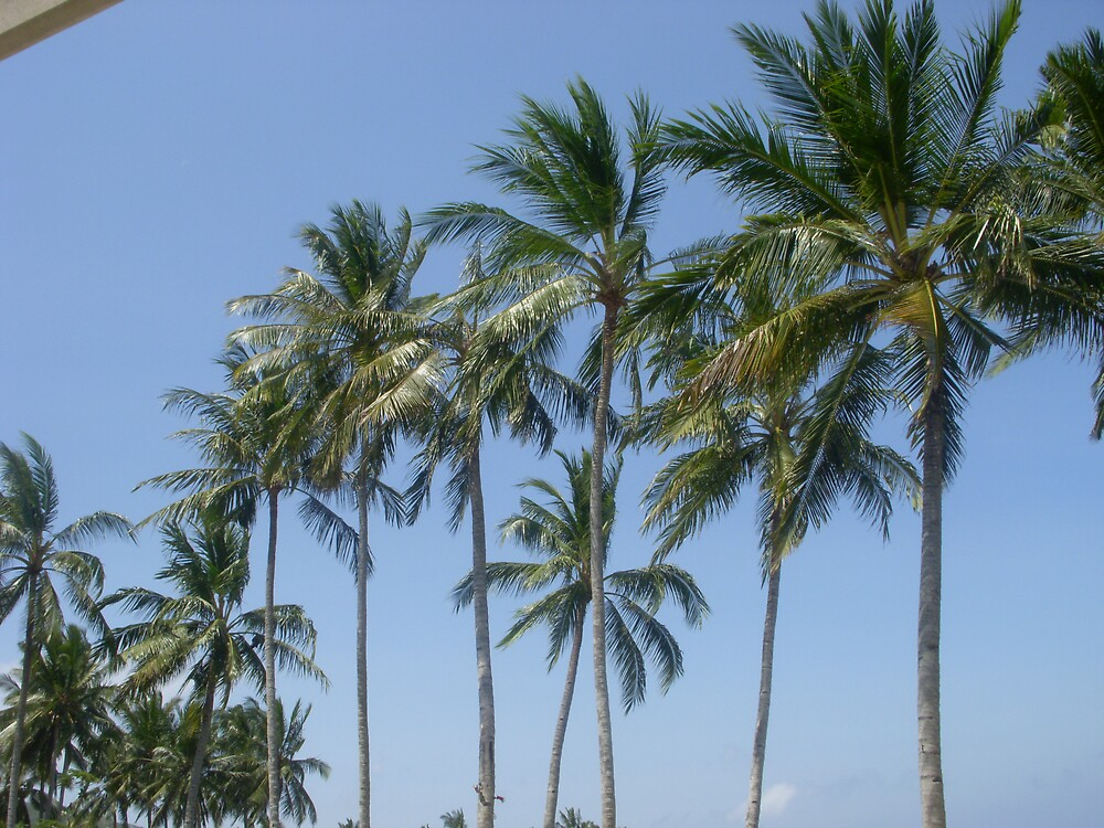 coconut trees by anggun