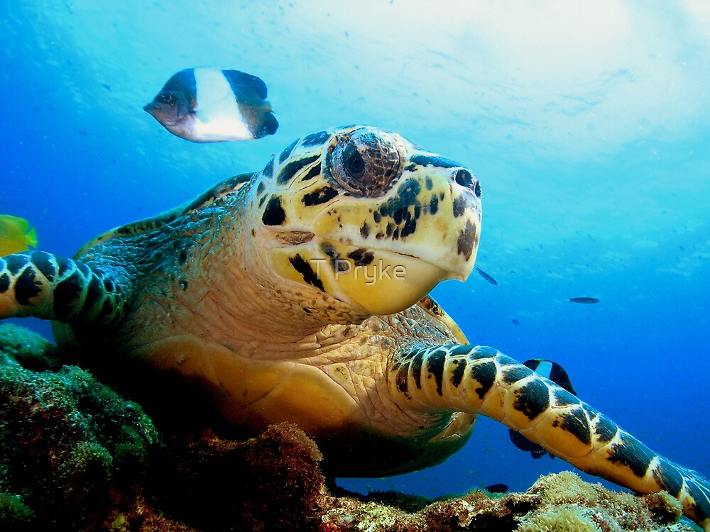Hawk Bill Turtle by T Pryke