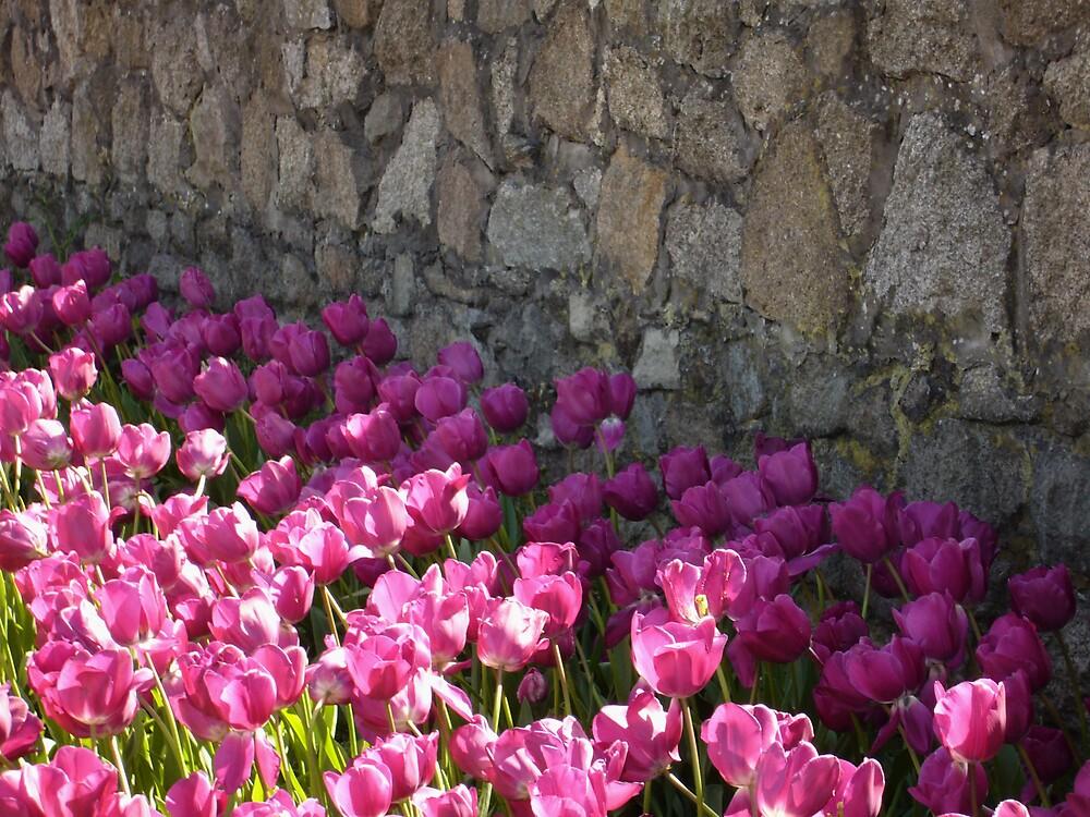 Tulips  by irisdesign