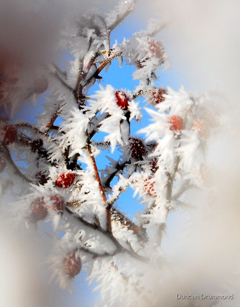 Berries in the winter by Duncan Drummond