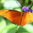 Orange Julia Butterfly by Alyce Taylor