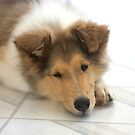 Rough Collie Puppy by Jan  Wall