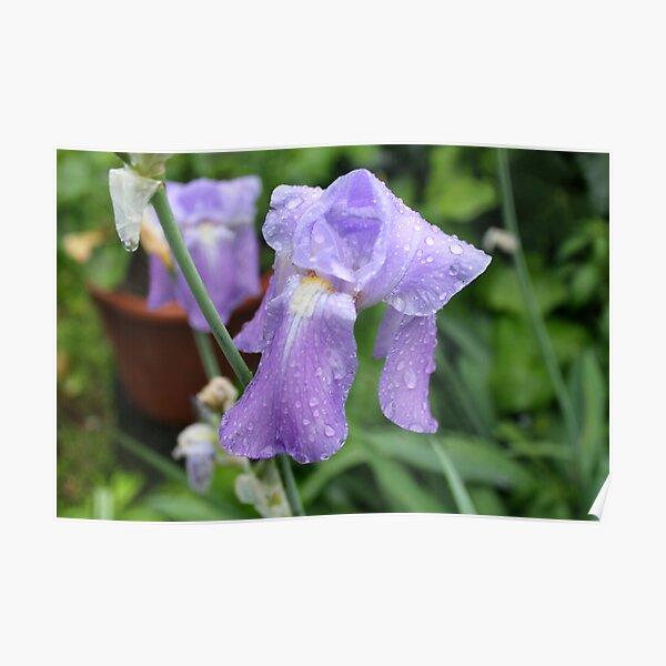 Iris, Tuscany, Italy. Poster
