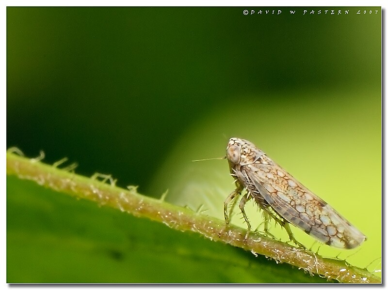 Leafhopper by dpastern