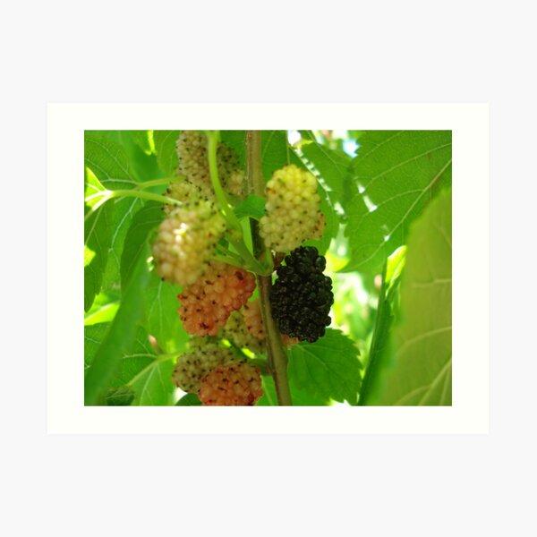 mulberries Art Print