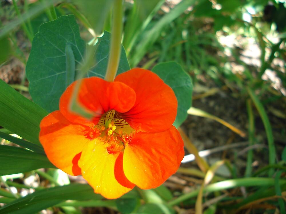 orange flower by kveta