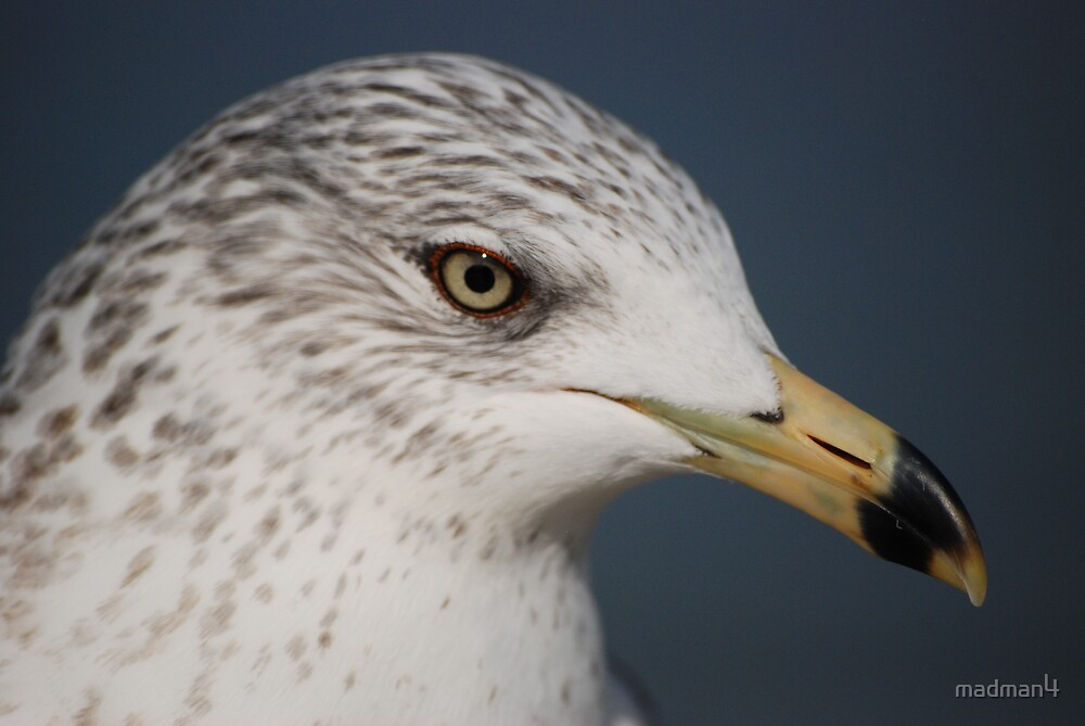 Ring Bill Seagull Close-Up by madman4