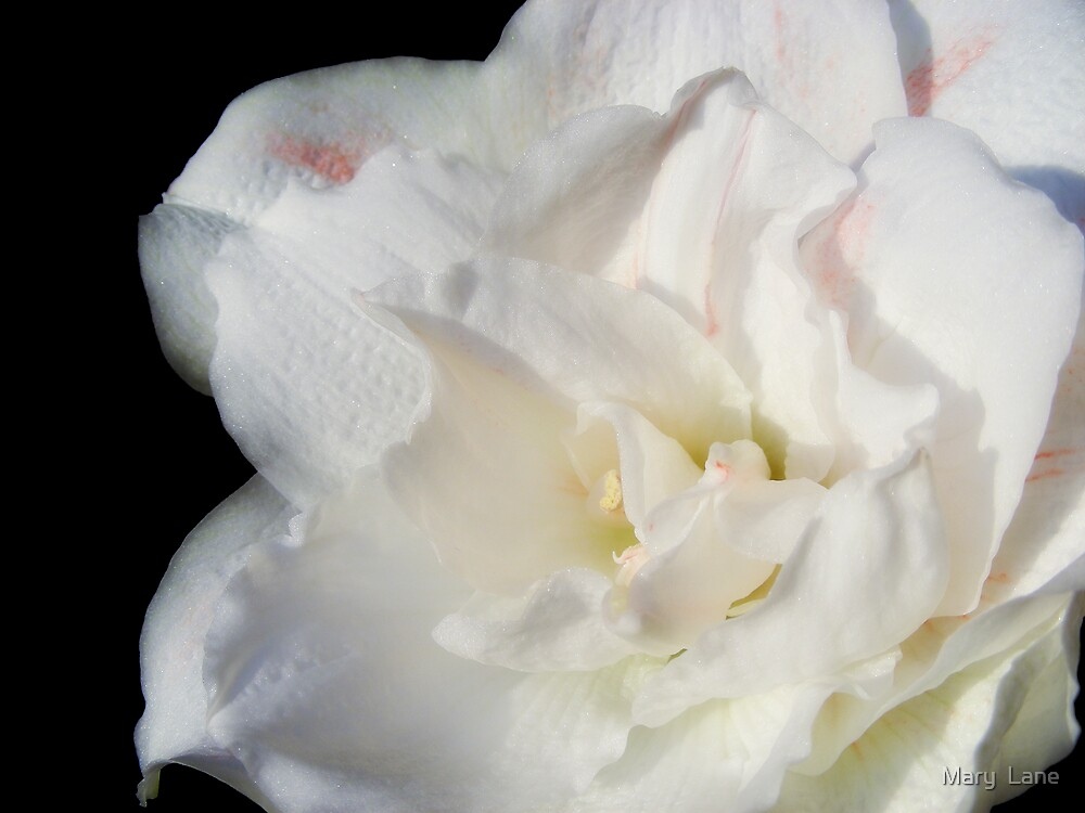 White Amaryllis by Mary  Lane