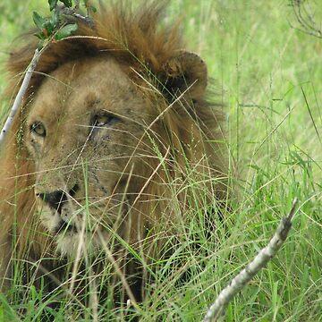 Lion 5 by shawnzahavi