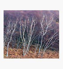 Birches in Breeze Photographic Print