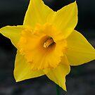 Daffodil by Kimberly Johnson