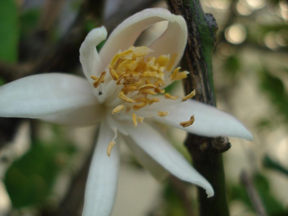 lemon flower 1 by kveta