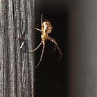 Spider down a gray wooden wall by Arve Bettum