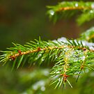 Spruce tree up close with ice by Arve Bettum