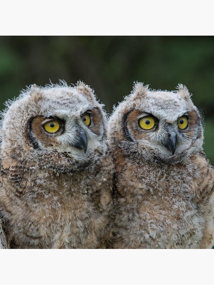Great Horned Owl Babies by faczen