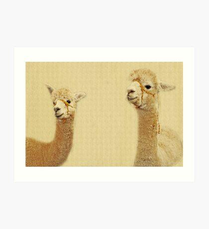 Porträt von zwei Alpakas Kunstdruck