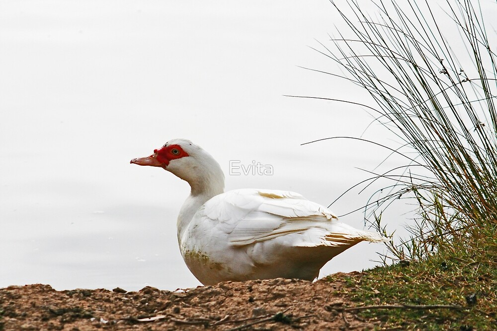 Duck In The Mist  by Evita