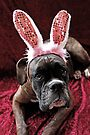 Boxer With *Wabbit* Ears - Boxer Dogs Series by Evita