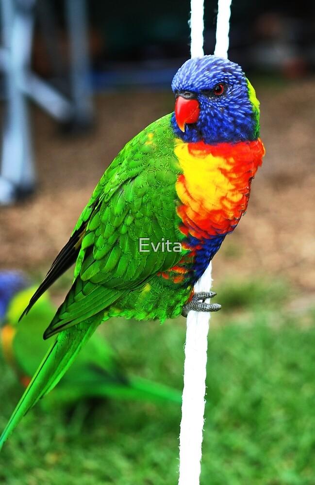 Bird On A Rope  - Rainbow Lorikeet - by Evita