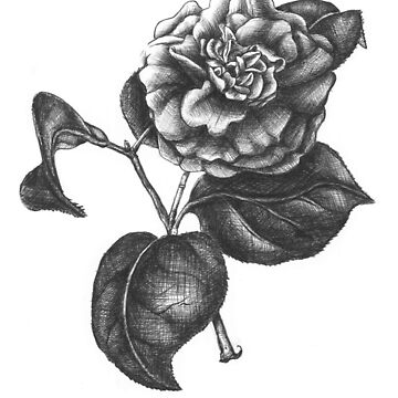 """No. 2 """" The Camellia"""" Botanical Ballpoint Pen Drawing by sckuithe"""