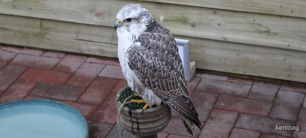 Goss Hawk. by kenmay