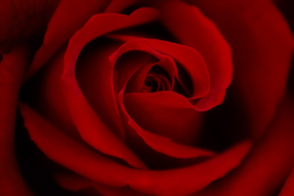 Red Rose by Adrian Richardson