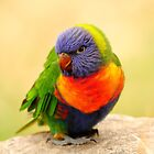 All The Colours Of The Rainbow...... Lorikeet by CBoyle