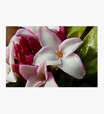 Daphne odora Photographic Print