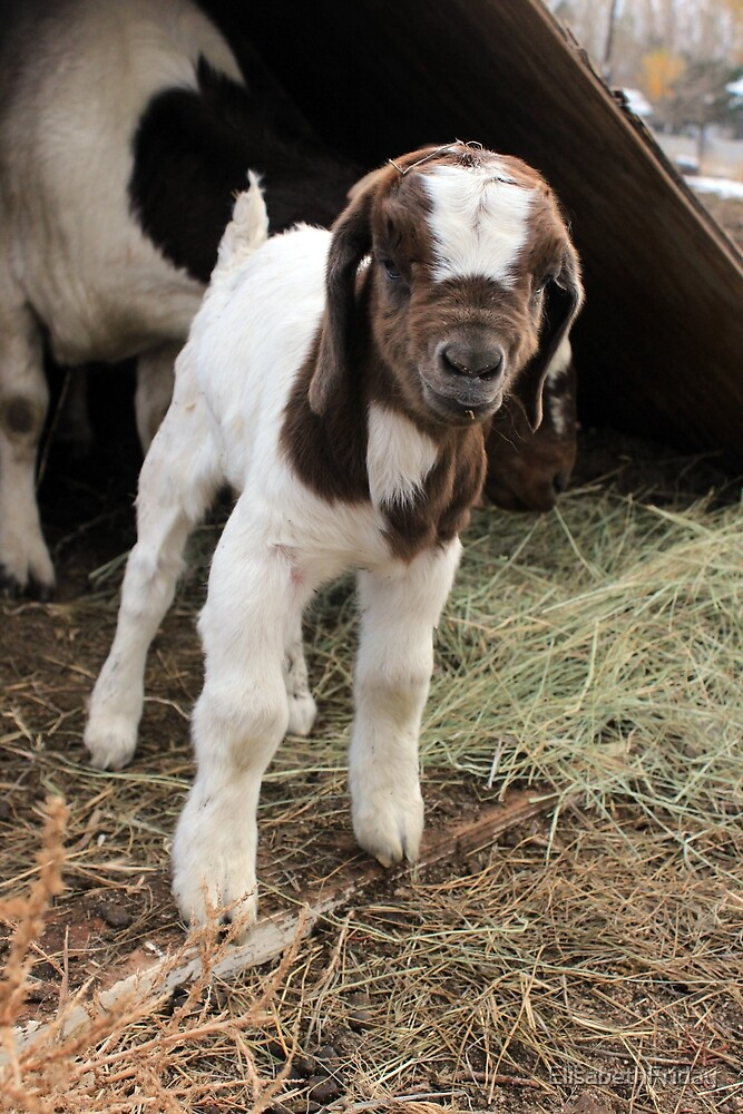 Baby Goat's First Day by ElisabethFriday