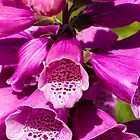 Foxglove (Digitalis purpurea) by Thad Zajdowicz