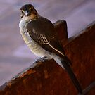 Young Butcher Bird by adbetron