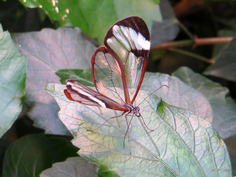 The Glasswinged butterfly by ienemien